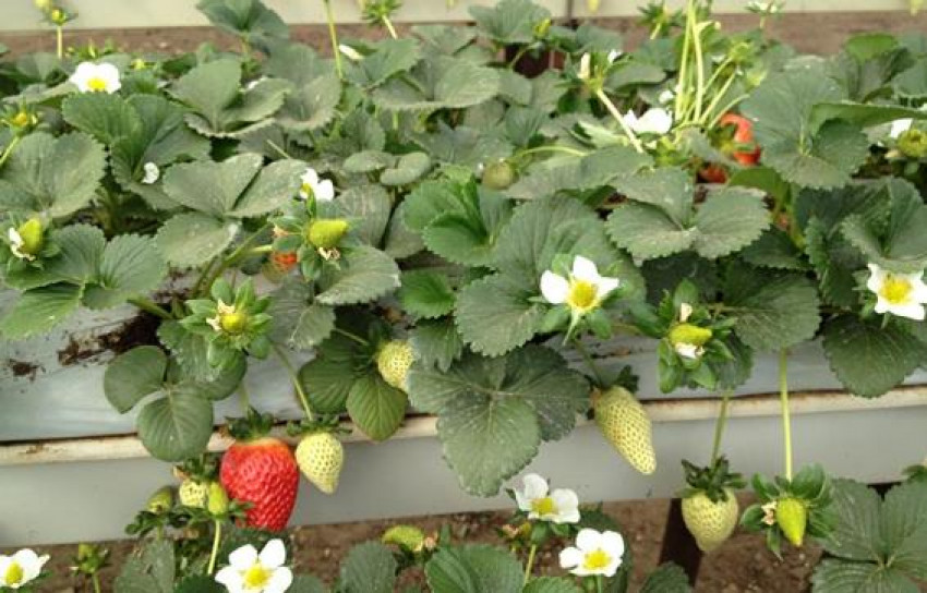 RIOCOCO offers starter blocks for growing strawberries in coco coir